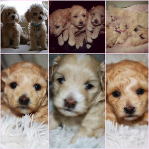BEAUTIFUL TOY POMAPOO POODLE POMERANIAN PUPPIES <3