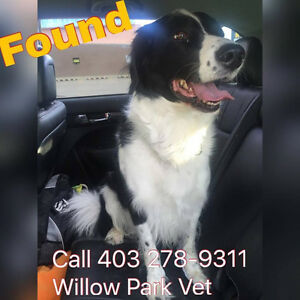 Found: Intact Male Border Collie