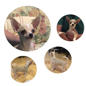 Purebred TINY Chihuahua Male
