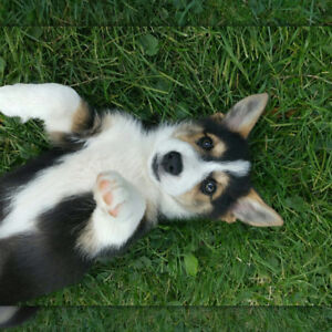 Corgi cross. Home raised. NEW PRICE