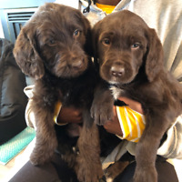 Chocolate Labradoodles (2 males left)