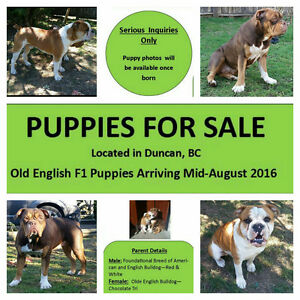 Olde English bulldogge F1 puppies coming mid August