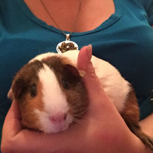 2 female guinea pigs with all accessories