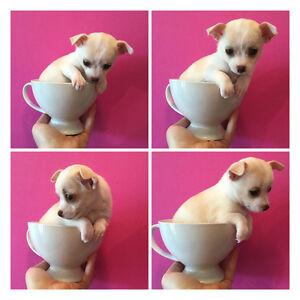 ❤️TINY CHIHUAHUA PUPPIES ,applehead,teacup
