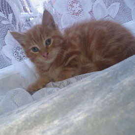8 weak old beautiful kittens. 2 calico, 1 black and 1 orange kitten.