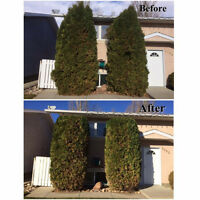 HEDGE and SHRUB TRIMMING OR PRUNING by 4Season's Landscaping
