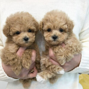 CREAM TEACUP TOY POODLES