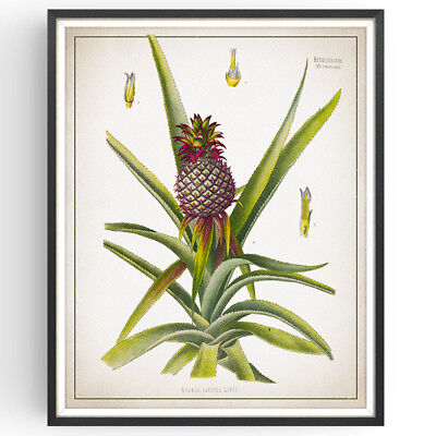 Tropical Fruit Picture (Pineapple Botanical Print Tropical Fruit Decor Vintage Art Picture Poster Gift )