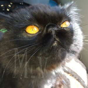 MISSING BLACK PERSIAN WITH BRIGHT COPPER EYES - Queensborough