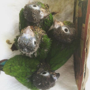 Baby Green Cheek Conure Boys