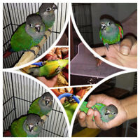 Cute handfed pearly conures and senegal babies!!!