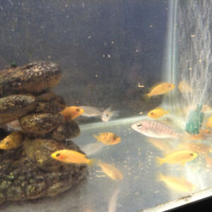 Cichlids, Orange in color for sale............