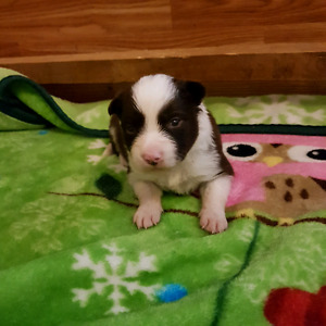 registered Red & White Border Collies