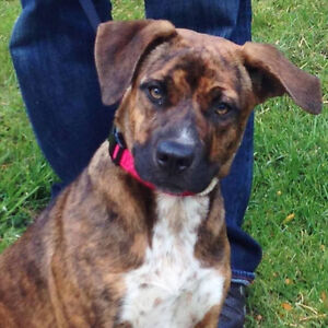 Stella Bright is a 1 - 1.5 yr. old female, boxer/shep mix