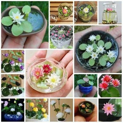 Bowl Lotus Seeds Hydroponic Flowers Small Water Lily Seed Mixed Color -5 Seeds
