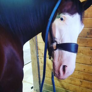 Morgan mare and paint broodmare for sale