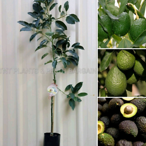 Grafted Avocado Fruit Trees Plants Perth from $60