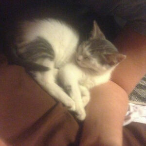 Lost Grey and White Cat
