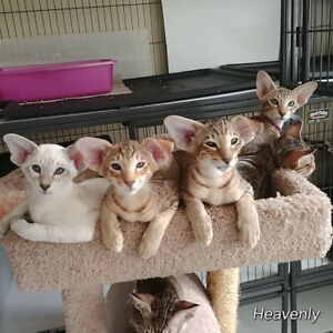 Oriental Short Hair kittens-Regd