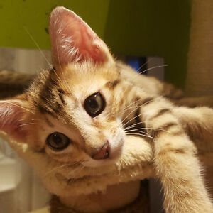 Baby Bengal Kittens - vaccinated and dewormed