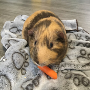 FREE to good home - 2 male guinea pigs and accessories
