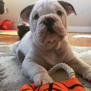 English bulldog puppy fawn and white weekend special 2350