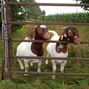 Registered Goats | Adopt or Rehome Livestock in Ontario | Kijiji