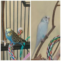 Two male budgies