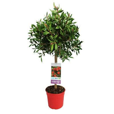 CALLISTEMON COPA MACETA 5 LITROS - Plantas de Exterior - Arbustos