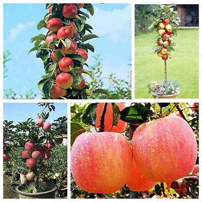 20 Bonsai Apple Tree Seeds Garden Yard Outdoor Living Fruit Plant Fascinating ()