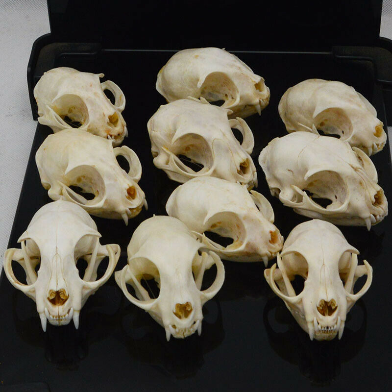 10pcs Such as pictures real Animal Skull specimen