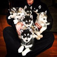 Siberian husky puppies - ready to go