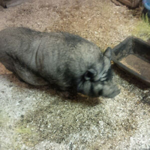 Free to Good Home for a Pot Belly Pig