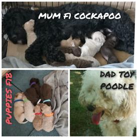 F1B Cockapoo puppies