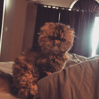 4 year old Tabby Persian Cat for sale