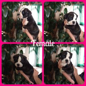 Registered Olde English Bulldogs - 1 male & 1 female