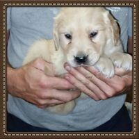 FEMALE Golden Retriever Puppies ~ Raised In Our Home!!