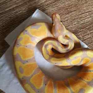 AMAZING PYTHON SNAKES FOR SALE!!!!!