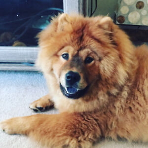 2 female Purebred chow chow puppies left
