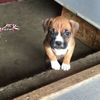 Boxer / Ridgeback Puppies