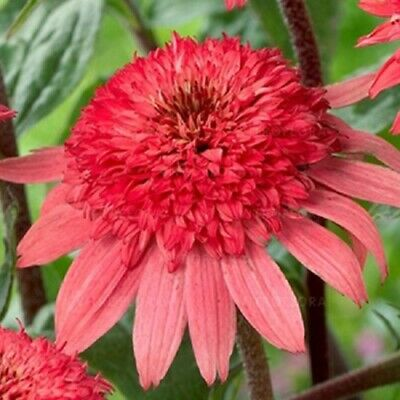 ECHINACEA 'RASPBERRY TRUFFLE' - DOUBLE CONEFLOWER  -Easy To Grow And Care For-   ()