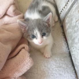 Stunning grey & white kittens 1 male 1 female