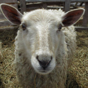 Holly (ewe) Sheep - $200