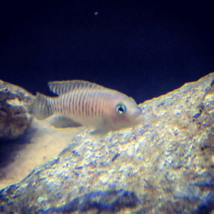 SHELL DWELLING  African Cichlids ..$10
