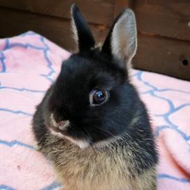 Netherland dwarfs bunnies and one mini lop girl