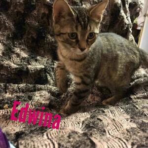 Edwina - rescued brown tabby female kitten for adoption