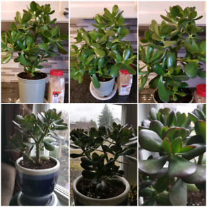 2 Mature Jade Plants (with or without the ceramic pot)