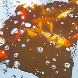 Pond Fish various prices from £10 to £300