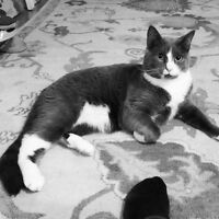 west island cat sitter and cat visits (insured/bonded,pet first)