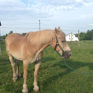 draft horse for sale.